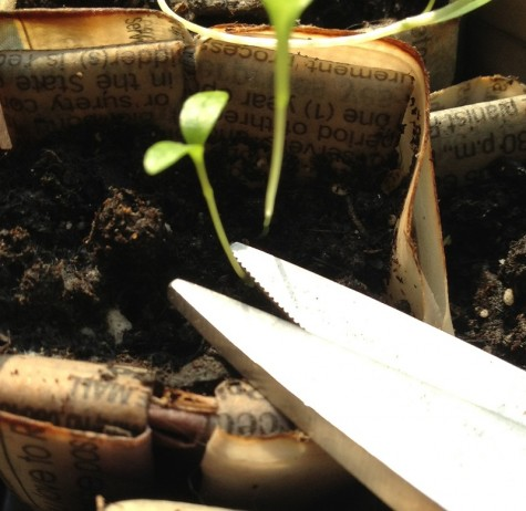Thin the seedlings with scissors.