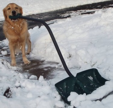 golden shoveling  snow
